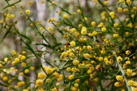 lebah memadu bunga akasia (acacia pycnantha)...